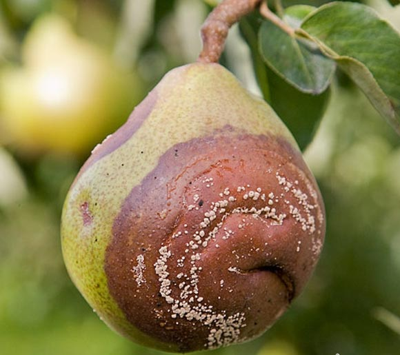 Плодовая гниль (манилиоз) на груше