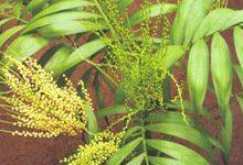 особенности выращивания хамедореи