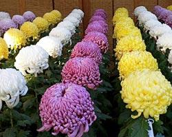 выращивание хризантемы индийской