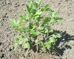 вырщивание хризантемы рассадой