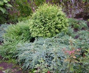 серебристый сад из хвойных растений
