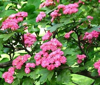 живая изгородь из боярышника цвете