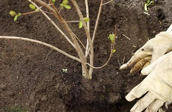 сажаем саженцы боярышника для живой изгороди