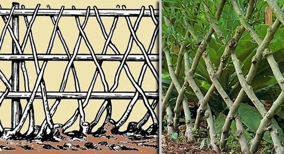 создание шпалерной изгороди из боярышника