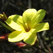 жасмин голоцветковый