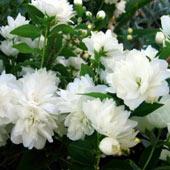 жасмин крупноцветковый
