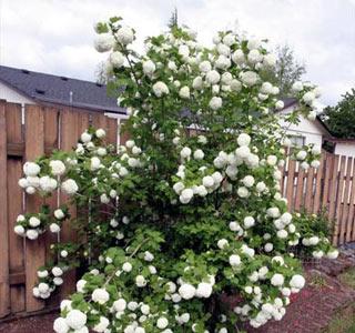 Калина розеум обыкновенная (roseum)
