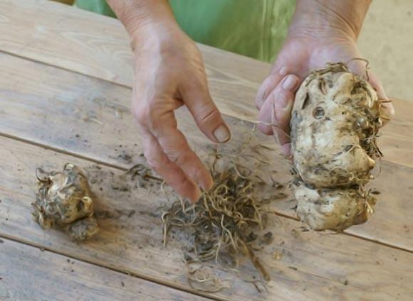 хранение клубней каллы садовой зимой