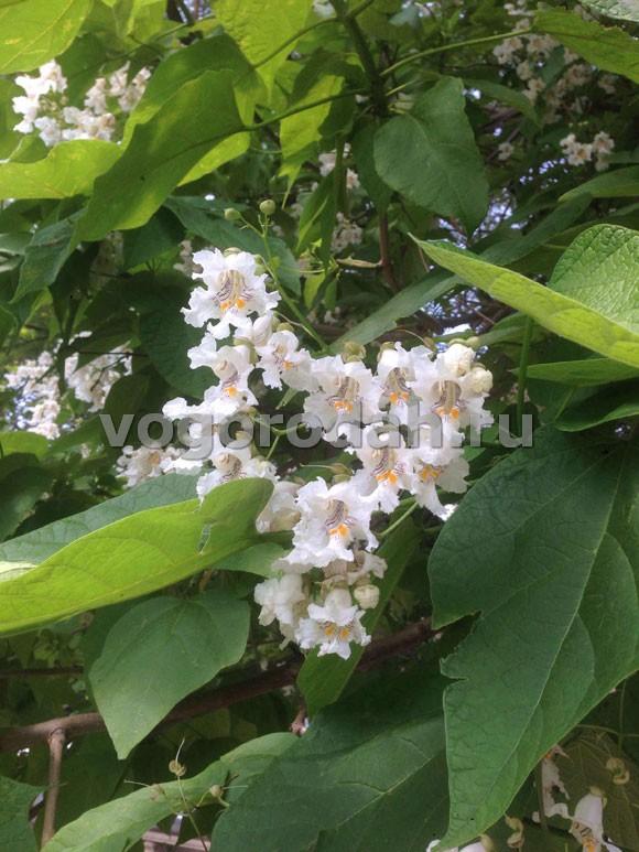 цветение катальпы