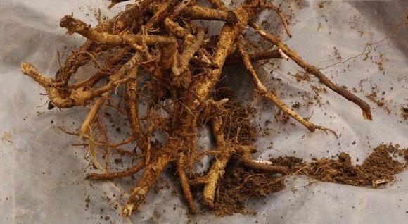 корни кипрея