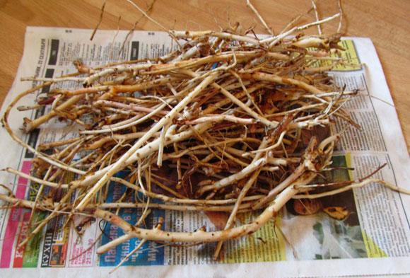 как собирают корни кипрея