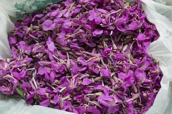 сбор цветов кипрея