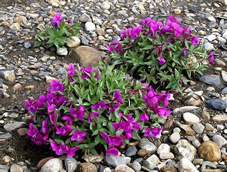 Кипрей широколистный (Epilobium latifolium)