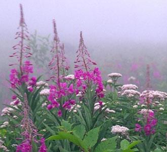 кипрей описание растения