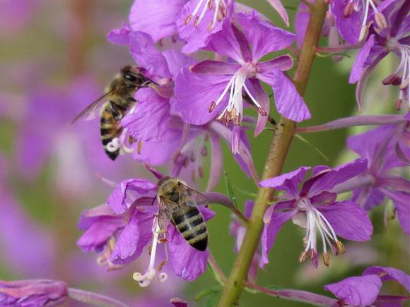 кипрейный мед полезные свойства и противопоказания
