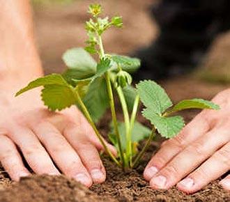 как сажать клубнику осенью розеткой