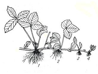 укореняем усы клубники для посадки осенью