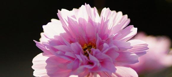 фото цветка космеи