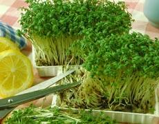 кресс салат выращивание дома