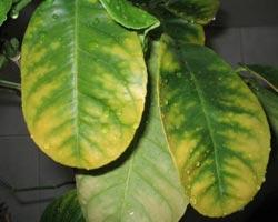 нехватка азота у лимона