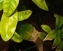 недостаток фосфора у лимона