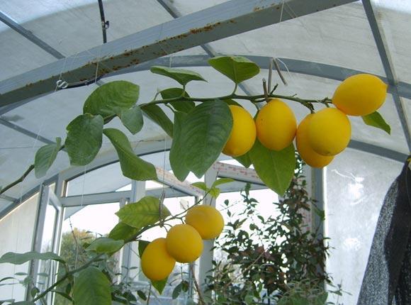 лимон мейера выращивание в домашних условиях