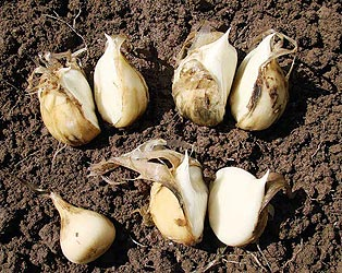 анзур лук выращивание