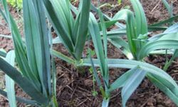 выращивание лука-порея из семян
