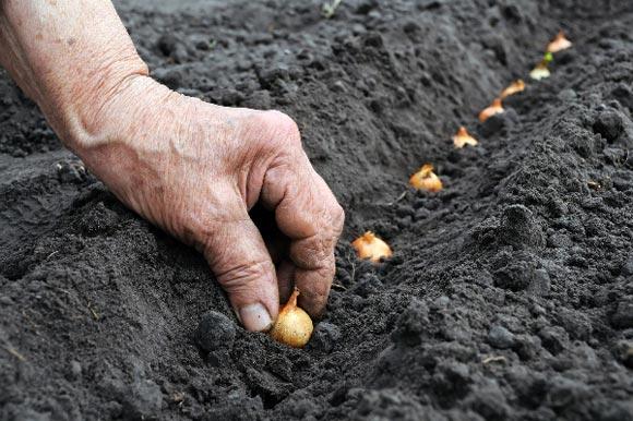 Высадить лук на расстоянии 8-15 см друг от друга