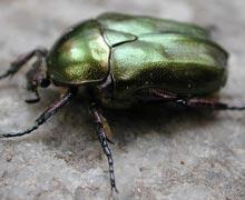 жуки в огороде