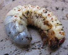 личинки майского жука вредители огорода