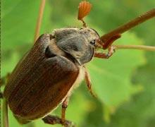 жуки на огороде
