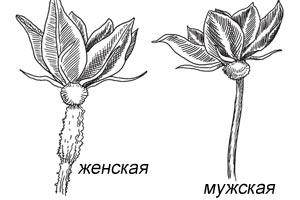 отличие женского цветка от мужского у момордики