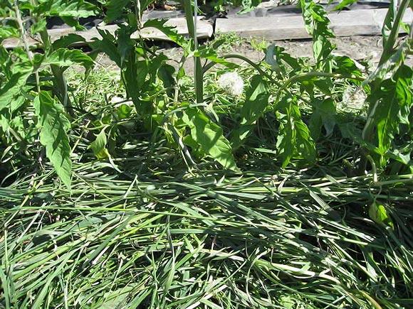 мульчирование свежескошенной травой нежелательно!