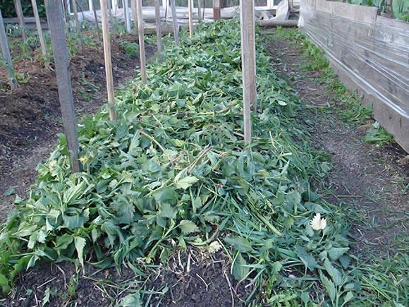 мульчирование томатов травой