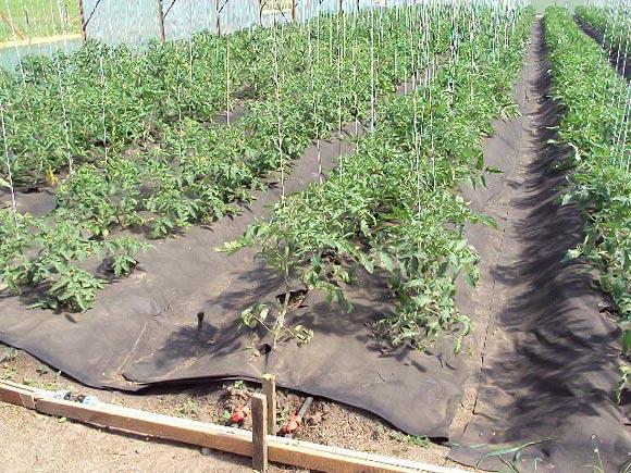 мульчирование томатов агроволокном