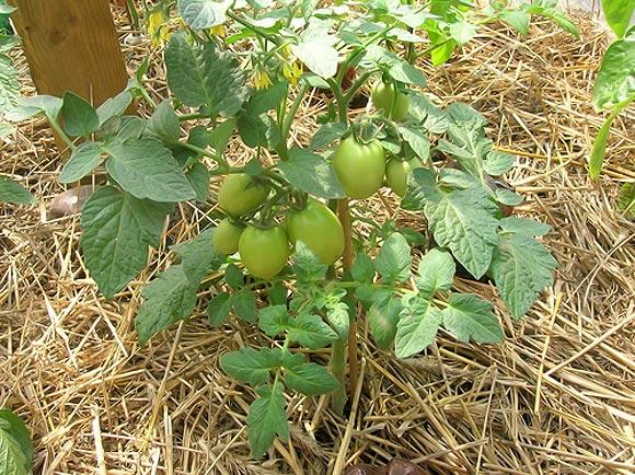 мульчирование помидор в теплице
