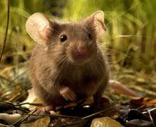 борьба с мышами на огороде