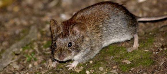 как прогнать мышей с огорода