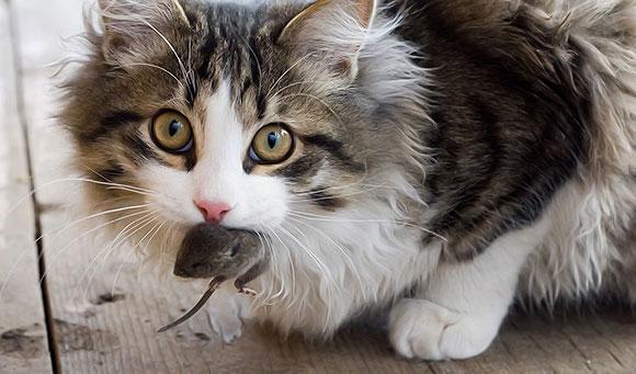 кот от мышей