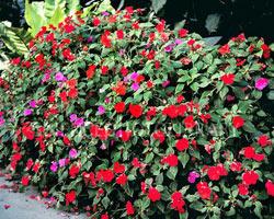 растение недотрога выращивание