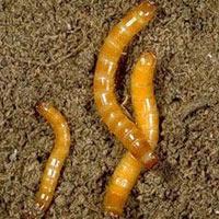 серые черви вредители