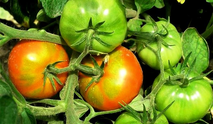 Зеленые бока на помидорах