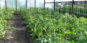 низкорослые томаты для теплицы