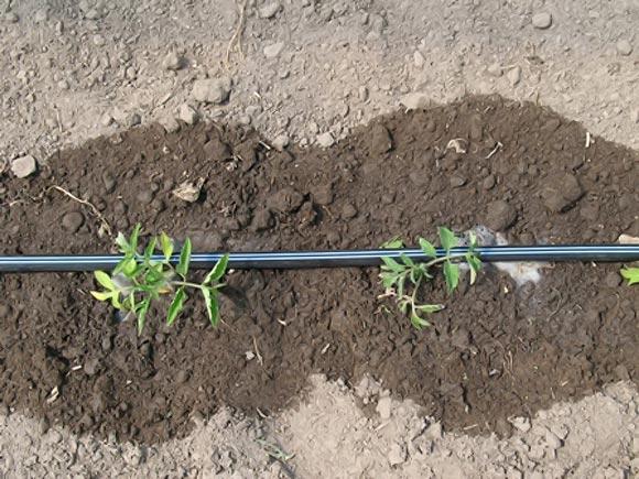 полив низкорослых помидор в теплице