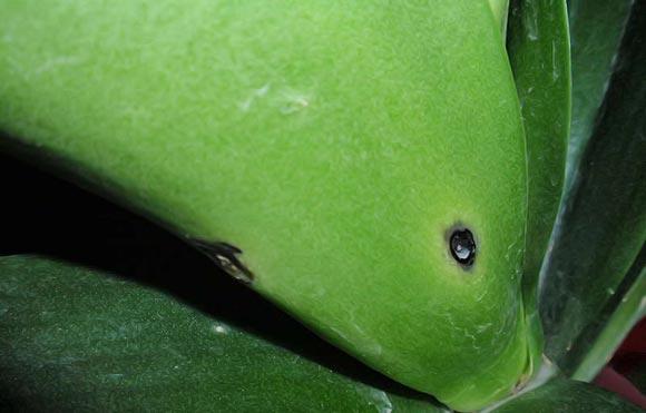 черные пятна на орхидеи дендробиум