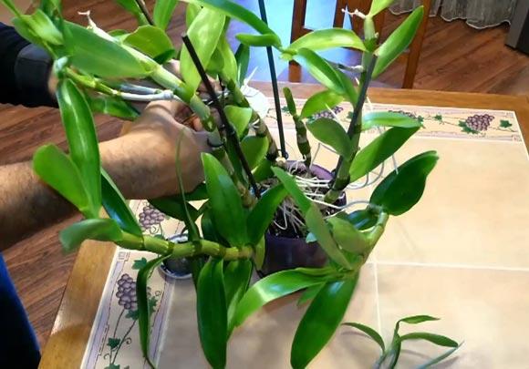 размножение черенками орхидеи дендробиум нобиле