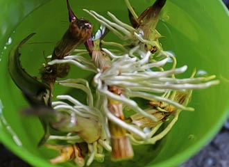 размножение делением куста орхидеи дендробиум