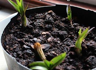 размножение делением куста орхидеи дендробиум нобиле