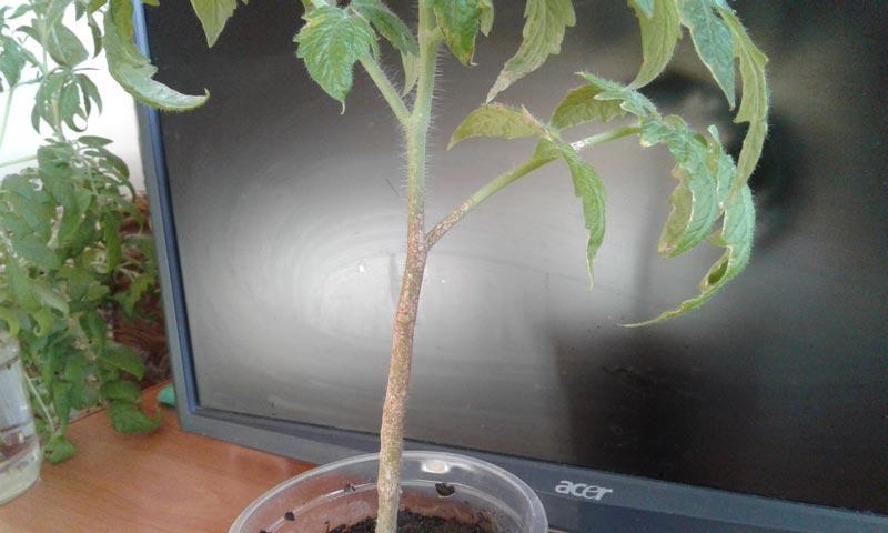 помогите что за болезнь рассады помидор